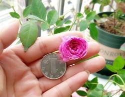 没有最小只有更小,八款超迷你的月季花品种盘点