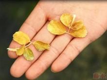 夏季月季叶片发黄怎么回事,多半是热的