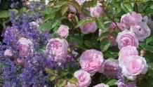 万喜彩票购彩攻略花友最爱的八种月季花