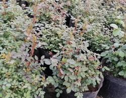 盆栽月季花为何越开越小