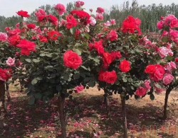 最新的树状月季批发价格_树状月季图片