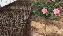 月季树批发价格以及栽培注意事项