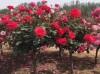 树状月季长势变弱,开花变少是什么原因?