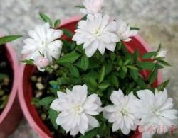 最小的超微型盆栽——姬月季