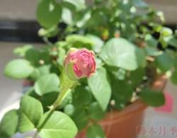月季小白购买种植初体验(四)——初花不对版