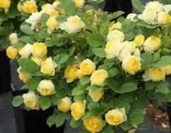 金秋即将来临,给大家盘点一下热门的黄色月季品种