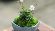 日本姬月季