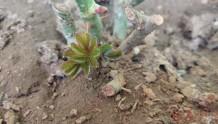 月季小白购买种植初体验(一)——买苗被骗