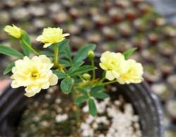 黄木香几年可以开花,黄木香怎样才能多开花呢(图文)