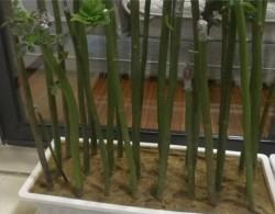 无刺蔷薇杆扦插多久可以生根?