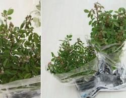 阳台种植藤本月季花柱,从零开始打造实录