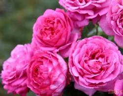 月季花常见的四种香气,你了解几个?