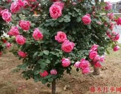 盆栽月季花的养殖方法,需注意四大原则