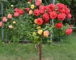 南阳2公分月季树价格,2公分树状月季多少钱一棵