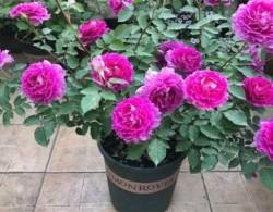 适合阳台种植,耐阴月季有哪些?