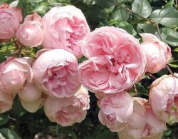 粉色月季品种有哪些,粉红色月季品种推荐