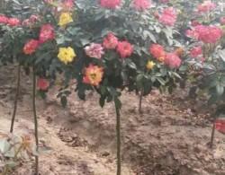 娇艳美丽的月季花树价格是多少?