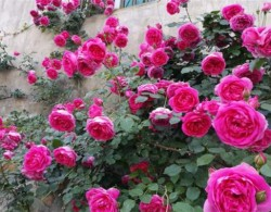 藤本月季盆栽也能爆墙,需要这样种植!