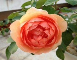 最勤花的月季开花机器,有它不愁没花看!