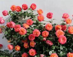 阳台怎么种植藤本月季,选择对了一样可以!