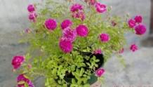 新栽月季养护六部曲