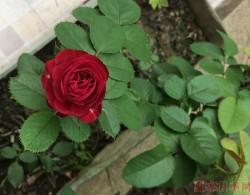 红色蕾丝Red Lace