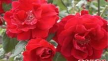 朱墨双辉(Crimson Glory)