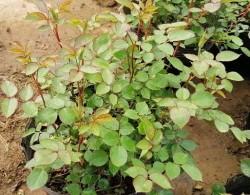 冬天到了,北方盆栽月季的防寒措施抓紧做起来~