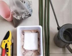 棒棒糖砧木蔷薇杆的扦插方法