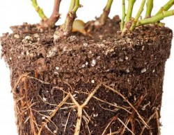 月季移栽要不要洗根,要不要蘸生根粉?