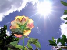 夏季高温月季可不可以施肥?