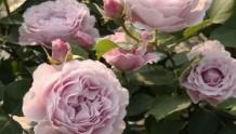 丰花又勤花的微型月季品种推荐