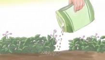 月季花期可以施肥吗?