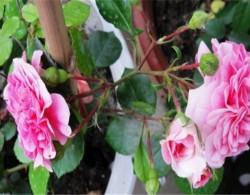 粉天鹅(Pink Swany)