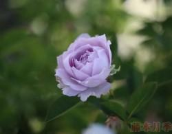 空蒙——蓝紫色系月季之经典品种