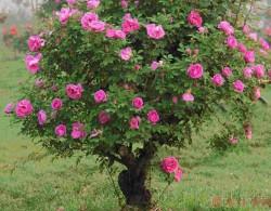 10公分树状月季价格,高贵典雅的古桩月季,你值得拥有!