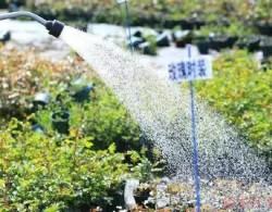 初春如何给月季浇水!