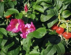 图解!玫瑰Rosa Rugosa及杂交玫瑰系列Hybrid Rugosa介绍