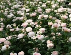 究竟是怎样的花,才配叫作「粉月季界颜值标杆」