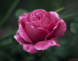 摩纳哥格蕾丝王妃月季园品种赏析