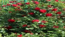八款红色的月季品种推荐