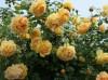 15款带有浓浓甜香的庭院月季推荐