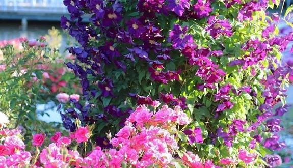 铁线莲和月季一起种植会更配哦