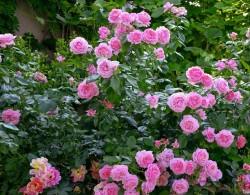 莫利纳之花 La Rose de Molinard