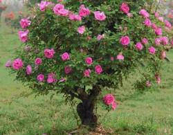 月季树嫁接用什么作砧木好