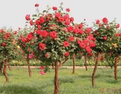2020年的树状月季批发价格