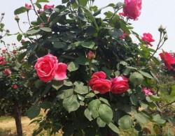 树状月季可以盆栽吗?
