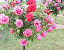 树状月季可以养几年