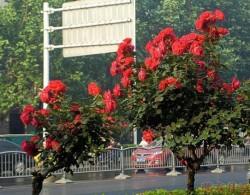 树状月季嫁接用什么树种