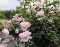 盆栽小树状月季价格